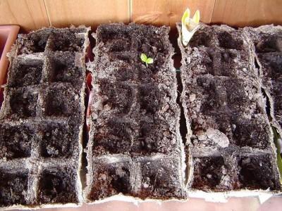 normal_Semilla%20passiflora%20cincinnata.JPG