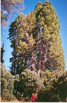 normal_sequoias.jpg