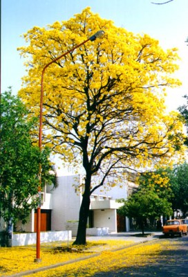 normal_Tabebuia%2520Lapacho_Amarillo2.jpe