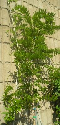 normal_wisteria2.jpg