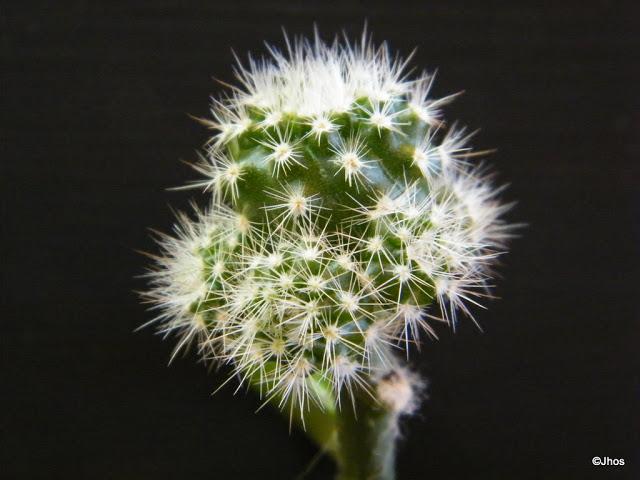 Notocactus%20Schlosserii%2020091017%20017.jpg