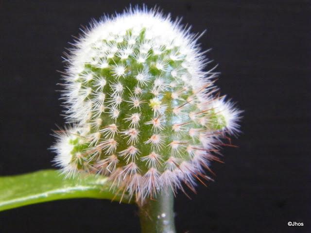 Notocactus%20scopa%2020091017%20028.jpg