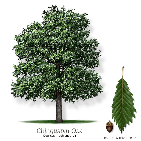 oak_chinkapin.jpg