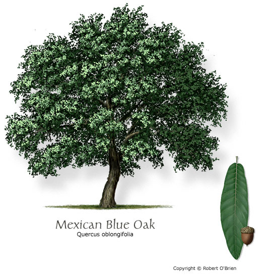 oak_mexican_blue.jpg