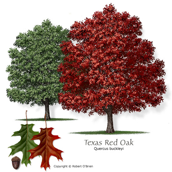oak_texas_red.jpg