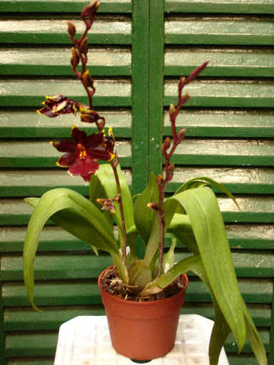 odontocidium%252520wildcat%252520golden%252520red%252520star%252520000.JPG
