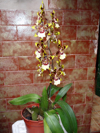 odontocidium%252520wildcat%252520yellow%252520butterfly%25252001.JPG