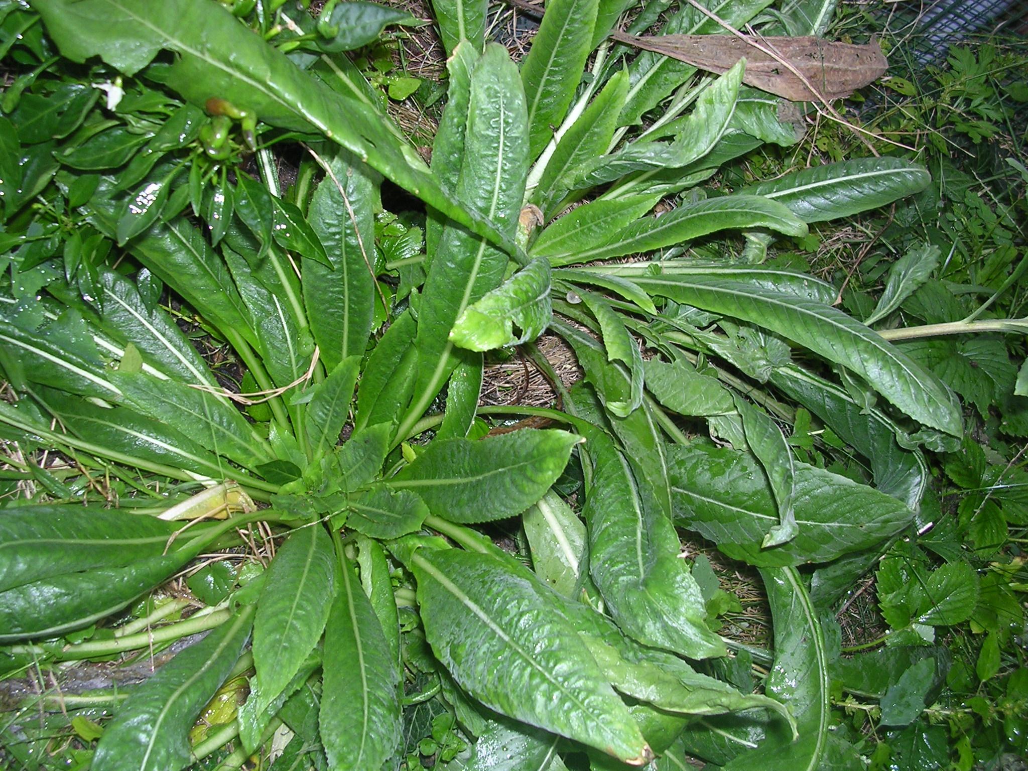 Oenothera-biennis-rosette.jpg