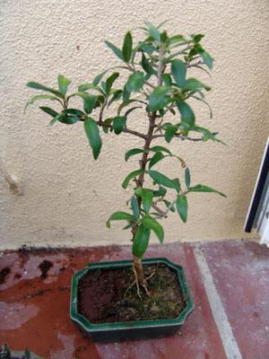 oliveirabonsai1.jpg