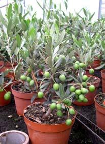 Plantas raras que he visto en un vivero mayorista de for Plantas que hay en un vivero