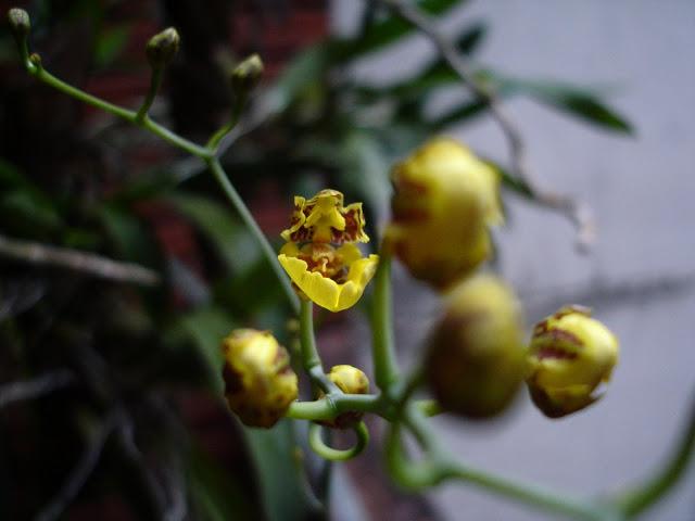 oncidium%252520bifolium%252520awakening%252520b.JPG
