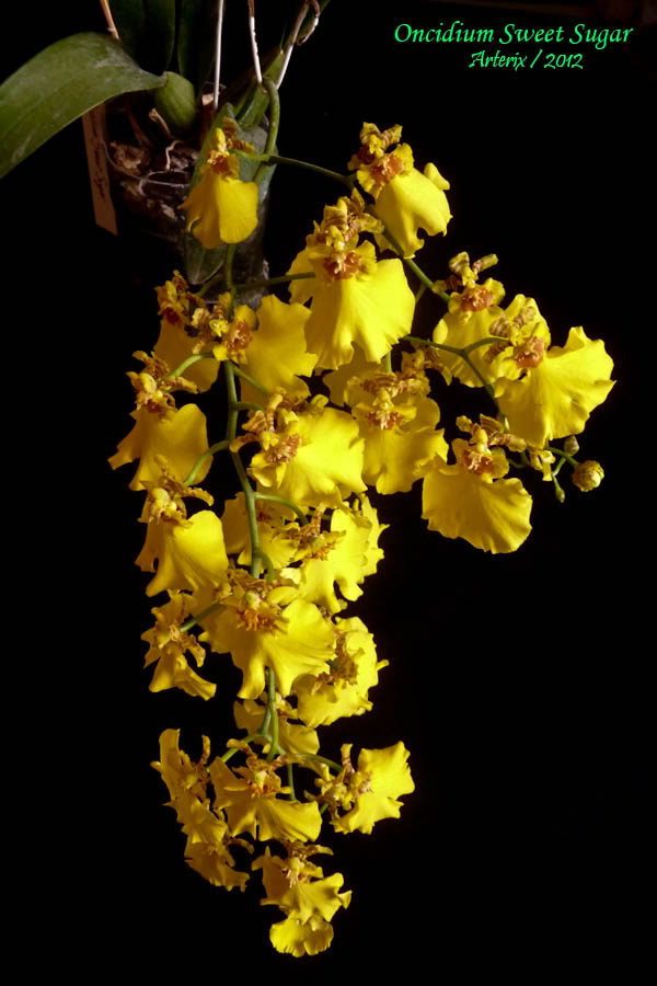 oncidium_sweet_sugar_004.jpg