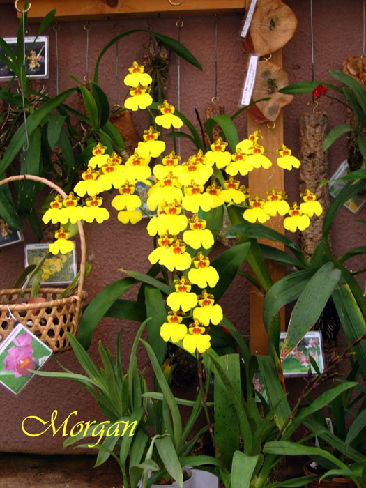 Oncidium_Sweet_Sugar_Angel_300.jpg