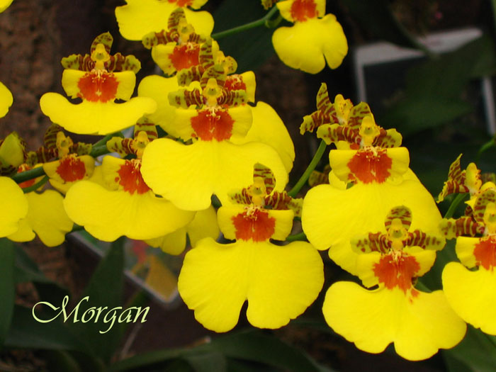 Oncidium_Sweet_Sugar_Angel_304.jpg