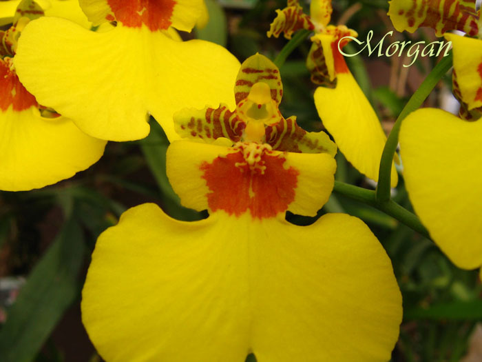Oncidium_Sweet_Sugar_Angel_306.jpg