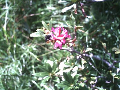 oooh_167_rhododendron_ferrugineum.JPG