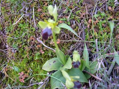 Ophrys%7E0.JPG