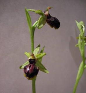 Ophrys11.jpg