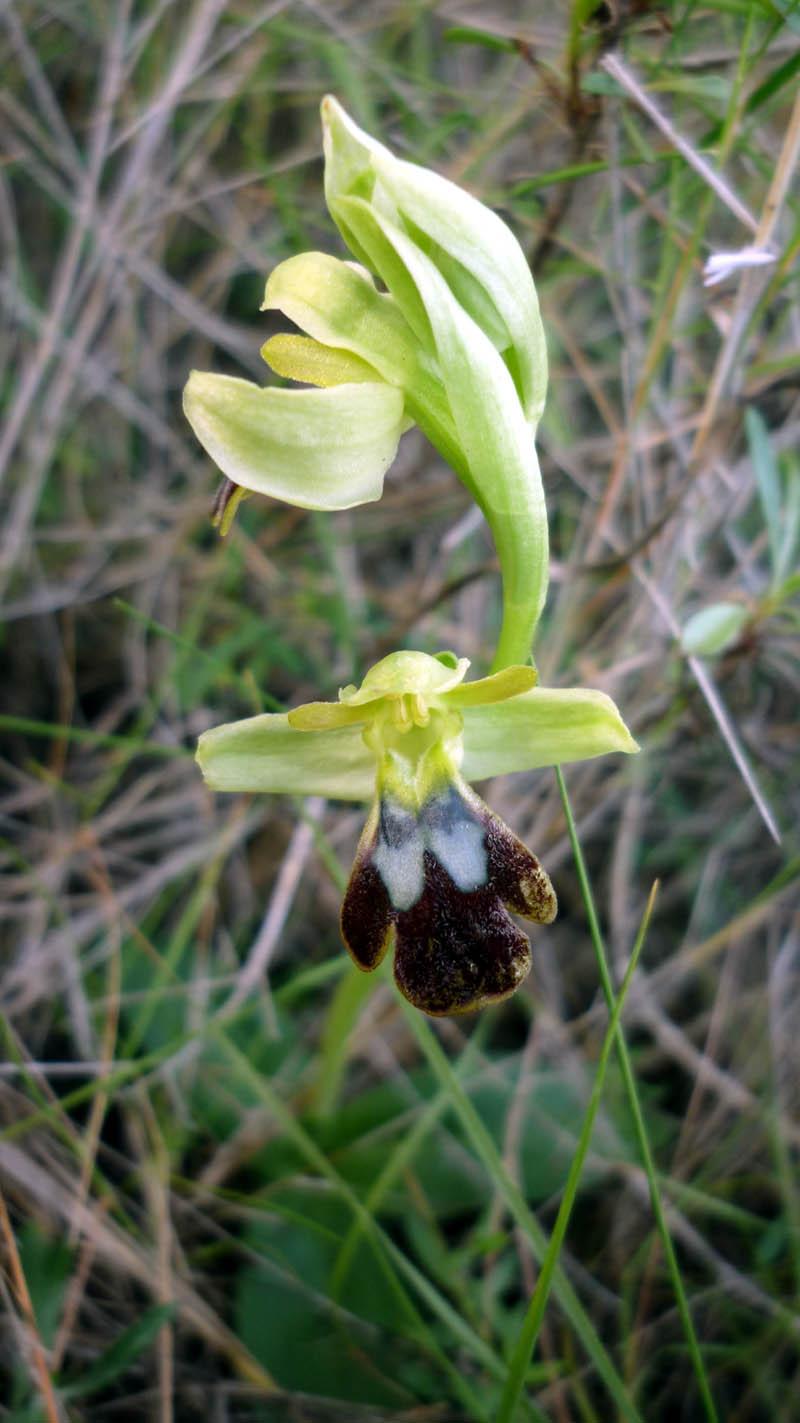 Ophrys_fusca09.JPG