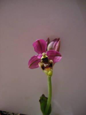Ophrys_tenthredinifera4.jpg