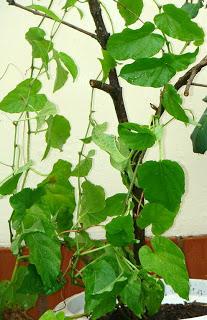 Planta insulina (Cissus verticillata - Cissus sycioides
