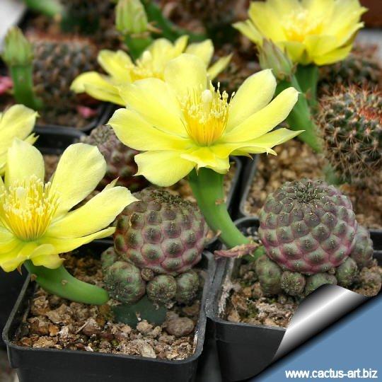 Opuntia_flowers_and_sulcorebutias_540.jpg
