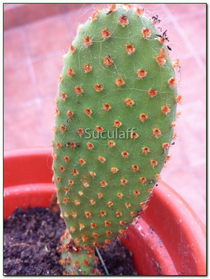 OpuntiasubulatavarmonstruosaI_zps7fa57516.jpg