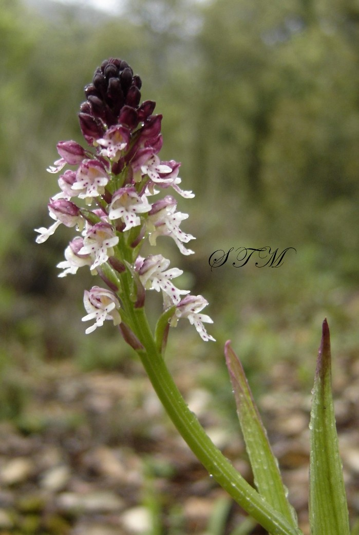orchis ustula 5.JPG