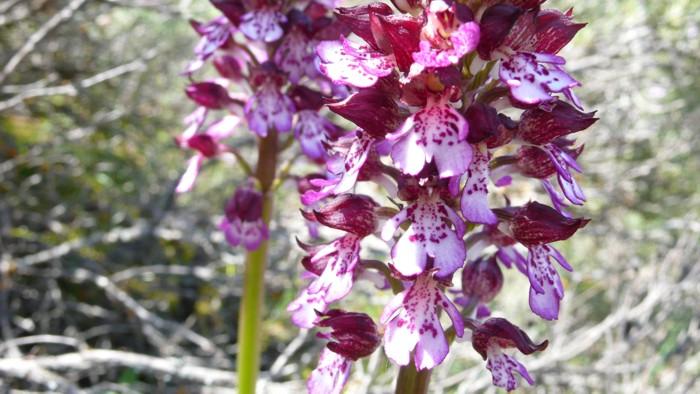 Orchis_purpurea_05.jpg