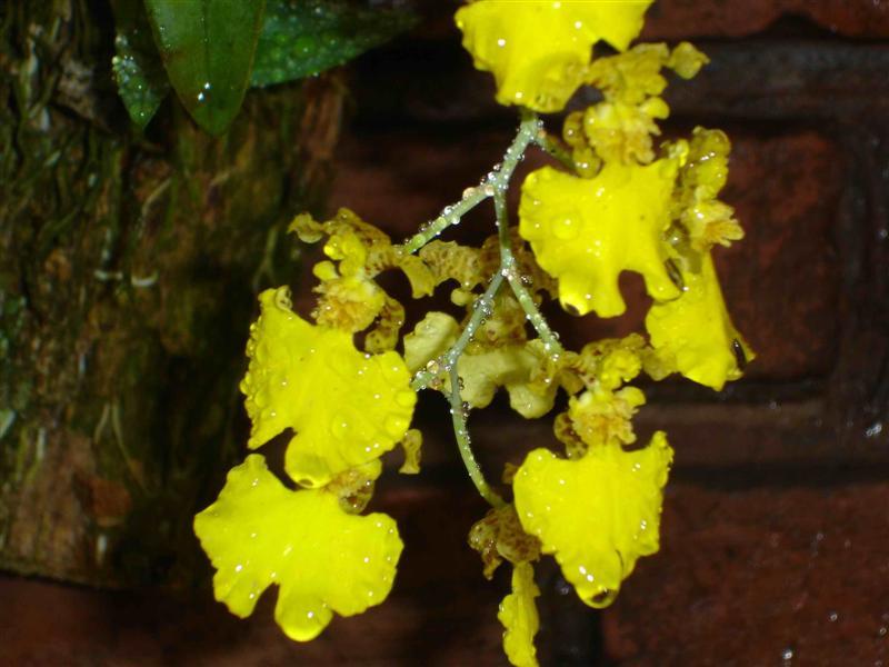 orquidea4%20(Medium).jpg