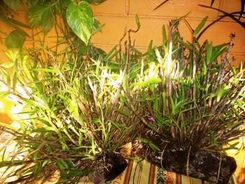 orquideadeAnaPatricia-2.jpg