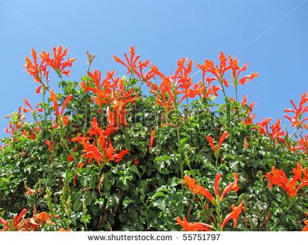 oto-red-orange-flower-cape-honeysuckle-tecomaria-capensis-native-for-south-africa-shrub-55751797.jpg