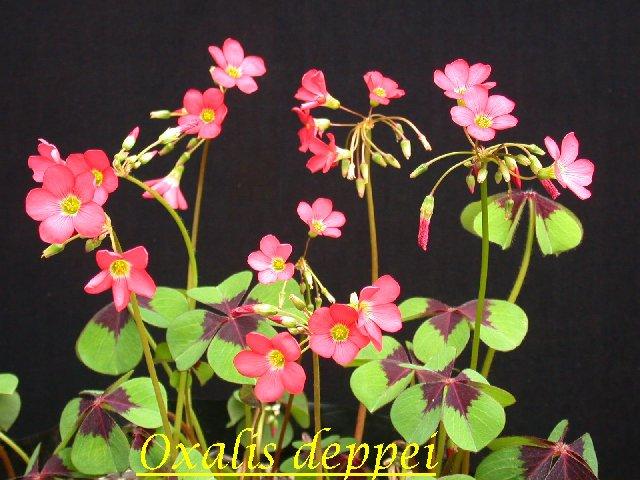 Oxalis_deppei_syn_tetraphylla.jpg