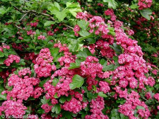 oxyacantha-plantes.jpg