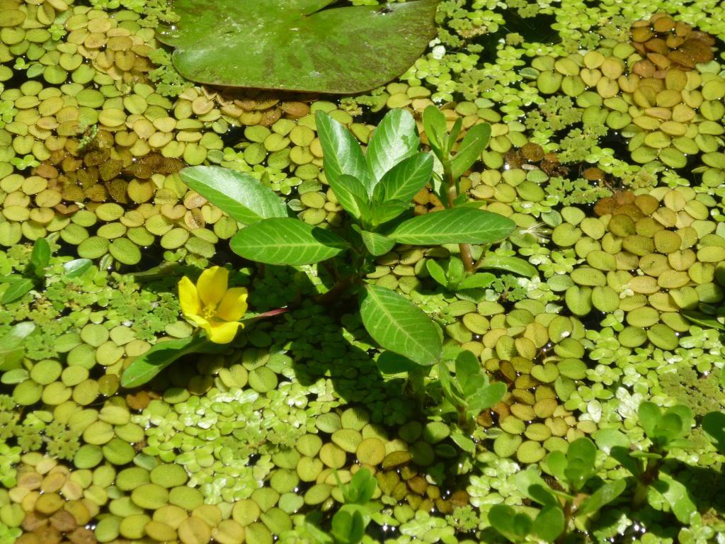 Fotos de peque o estanque con peces y planas que hice for Estanque pequeno para peces