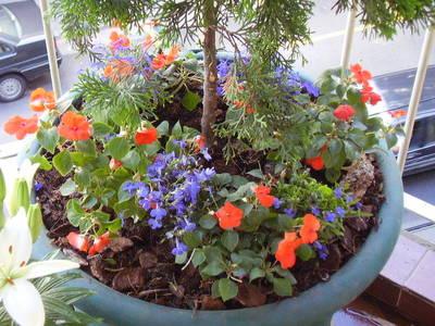 Foto de maceta con tuya alegr a del hogar y otra planta composici n - Planta alegria del hogar ...