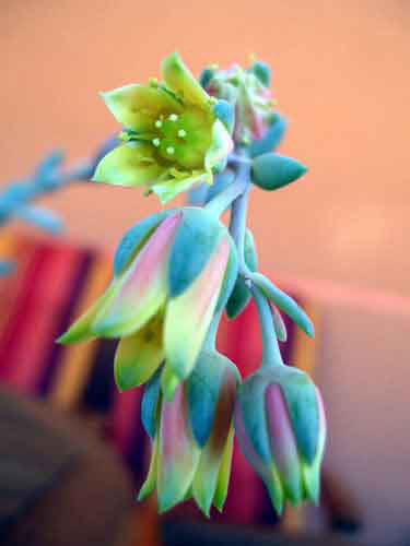 PachyphytumBrevifoliumFlor.jpg