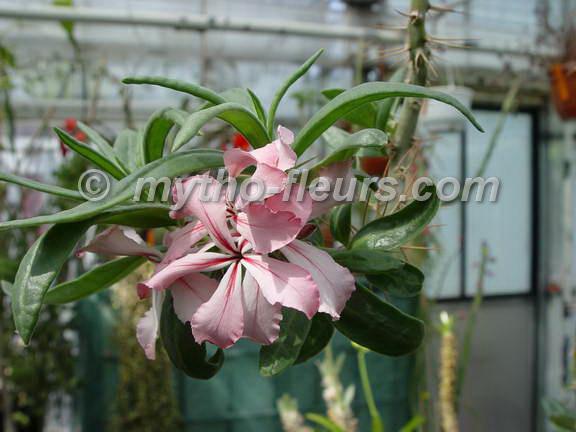 pachypodium_succulentum_kerkrade.jpg