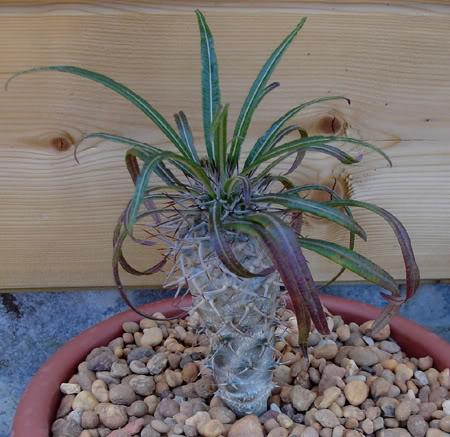 pachypodiumgeayi07_2008.jpg