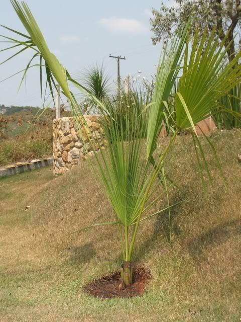 Palmeiraleque.jpg