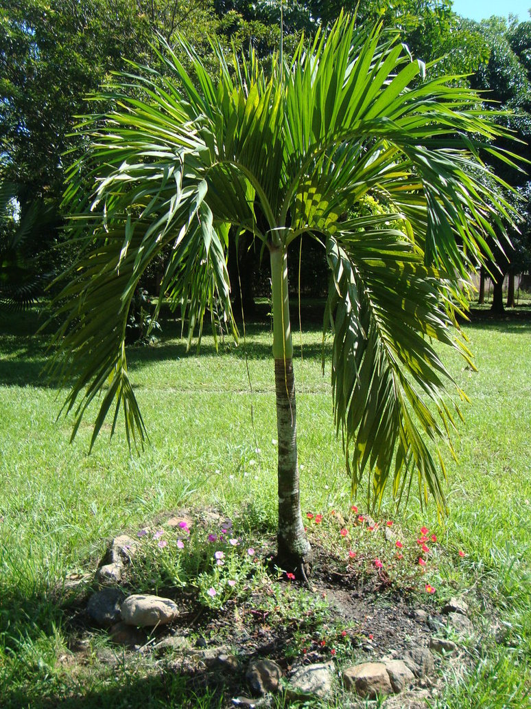 Fotos de las plantas para embellecer mi casa que tengo - Palmeras pequenas para jardin ...