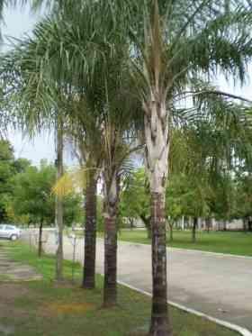 palmeras-pindo-de-alto-follaje-y-buen-tronco_a2e7b06_2.jpg