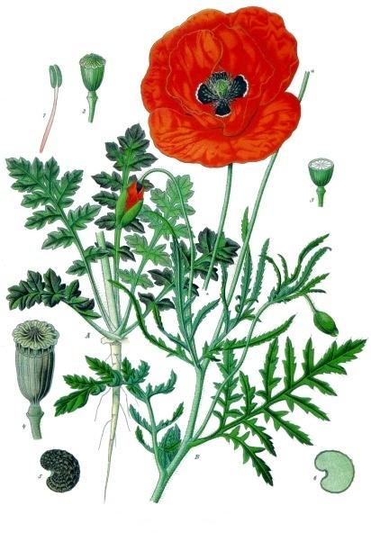 Papaver_rhoeas_-_K%C3%B6hler%E2%80%93s_Medizinal-Pflanzen-101.jpg