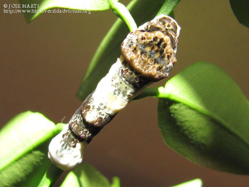 Papilio-(Heraclides)-thoas-304282.jpg