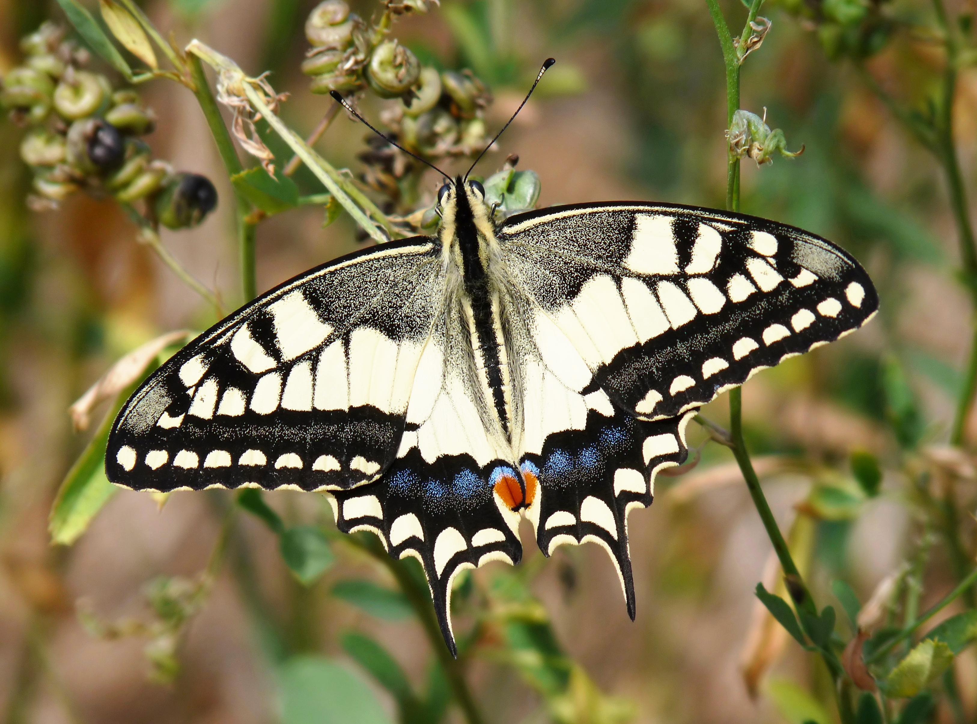 Papilio_machaon,_Livorno.jpg
