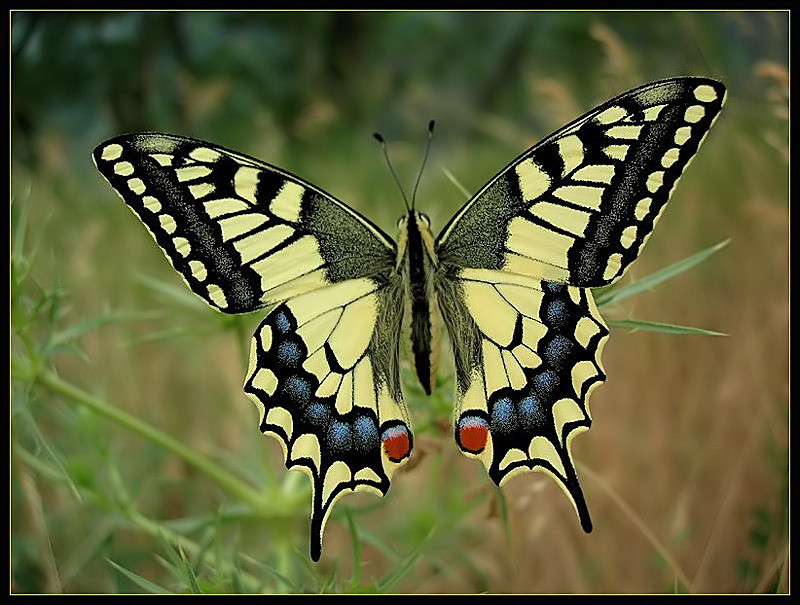 papilio_machaon-i-lps_filtered.jpg