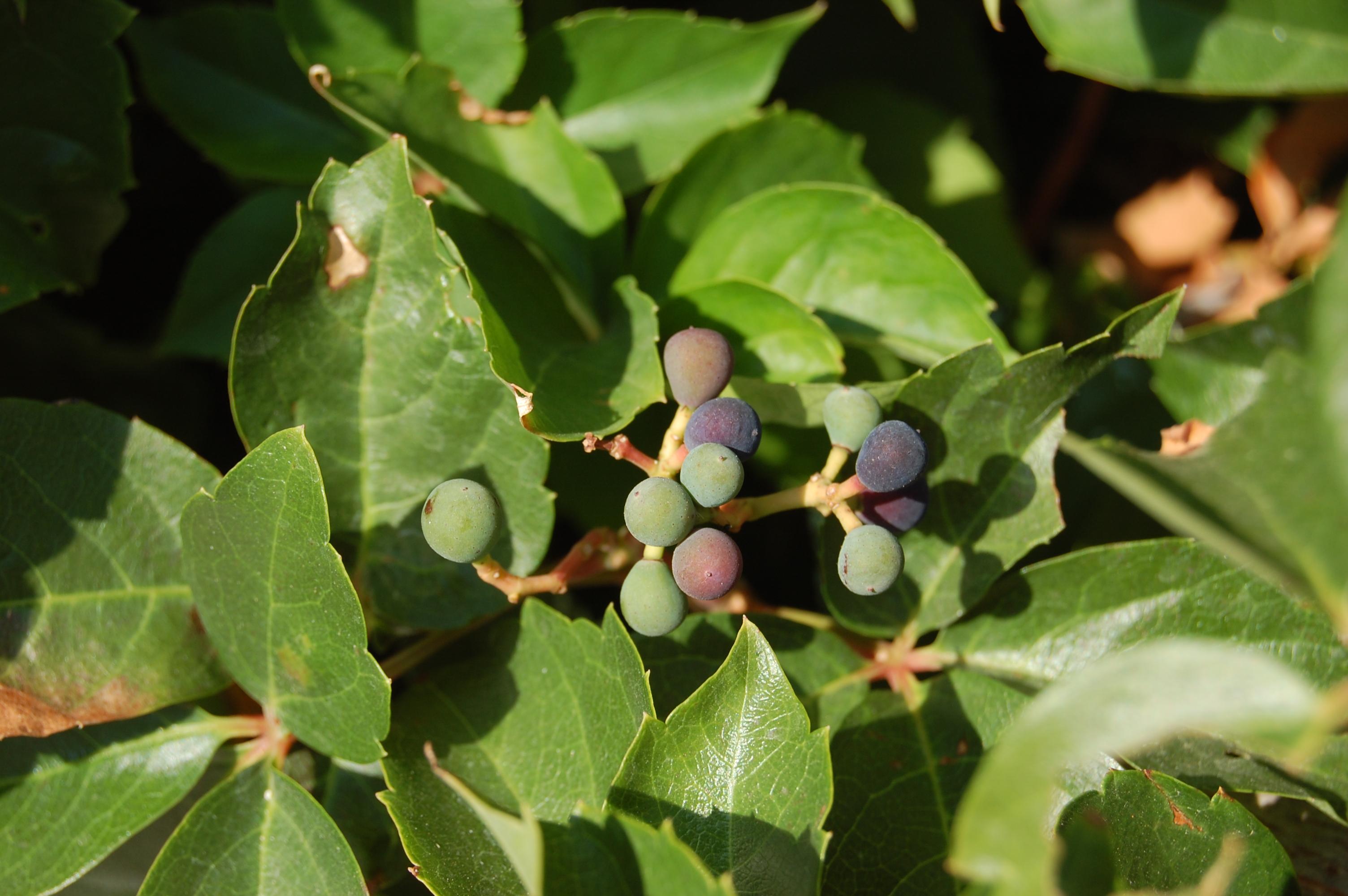 parthenocissus-quinquefolia-fruit.jpg