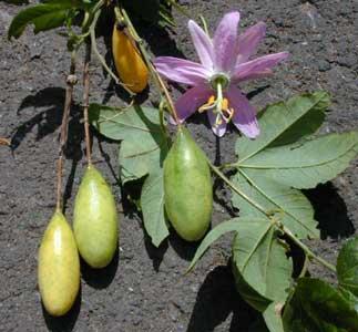 passiflora-mollissima.jpg