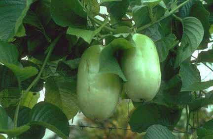 passiflora-quadrangu.jpg