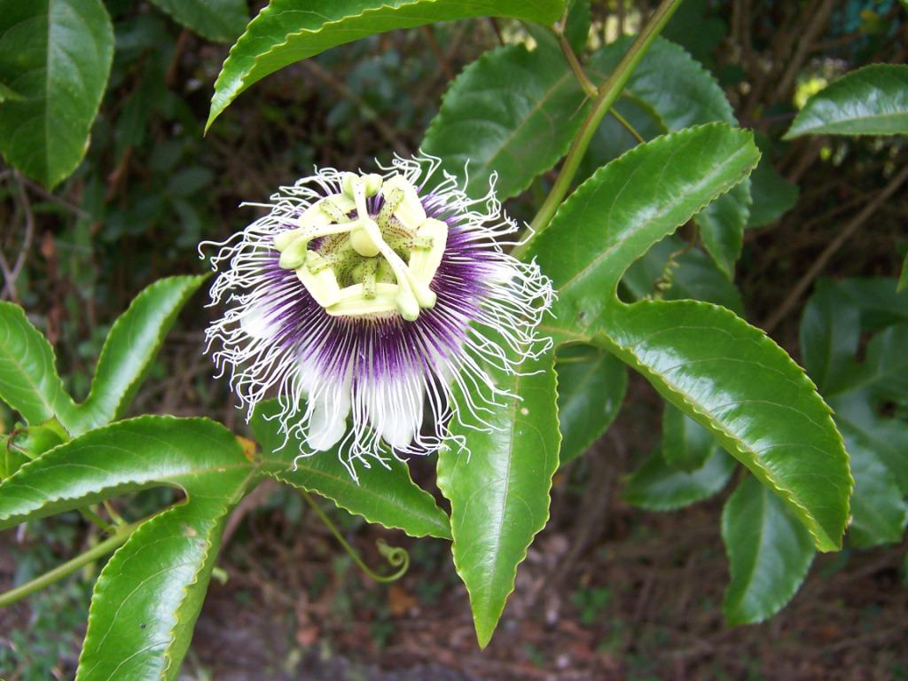 Passiflora_edulis.JPG